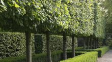 A pleached lime hedge in the private gardens of Oakfield Park, Co Donegal. Photograph: Richard Johnston