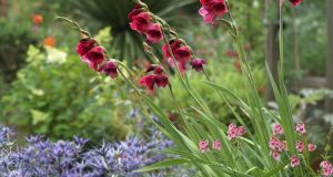 The reliably perennial, late-summer flowering Gladiolus 'Ruby' growing with eryngiums and diascias in Helen Dillon's Dublin garden. Photograph: Richard Johnston