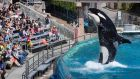 Visitors are greeted by an Orca killer whale as they attend a show featuring the whales during a visit to the animal theme park SeaWorld in San Diego. Photograph: Reuters