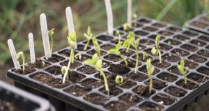 Young glasshouse-raised seedlings. Photograph: Richard Johnston