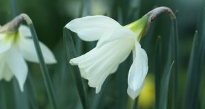 Narcissus 'Colleen Bawn'. Photograph: Richard Johnston