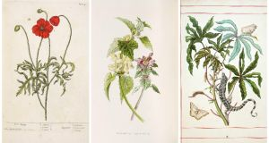 Drawings on show at 'A Weed is a Plant out of Place' at Lismore Castle, from left: Elizabeth Blackwell, 'A Curious Herbal, Vol 1, Poppy'; Maria Sibylla Merian, from 'Metamorphosin Insectarium Surinamensum'; HC Hulme, from 'Familiar Wild Flowers'. All copyright of the Devonshire Collection, Chatsworth and reproduced by permission of Chatsworth Settlement Trustees