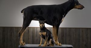 Two Doberman Pinschers - Boone and Flair Polo. Their owner says both were born from the same litter, but, as yet, only Flair Polo has been microchipped.