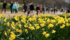 A file image of daffodils in a park. According to Met Éireann the Gurteen station in Co Tipperary saw a spell of 'absolute drought' during March. Photograph: PA