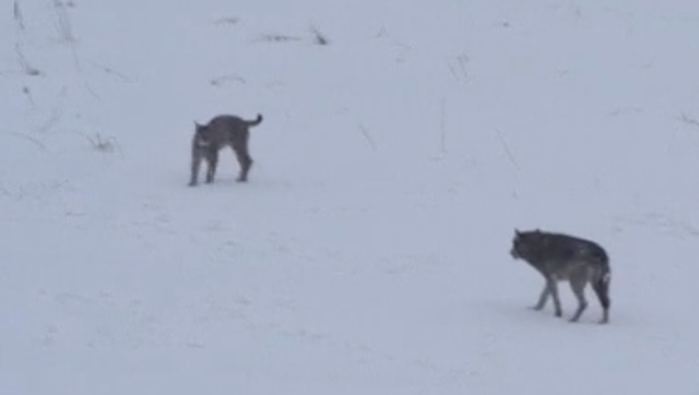 ► VIDEO: Stand-off between wild lynx and wolf caught on camera
