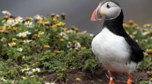 An adult puffin on the cliff tops on Skomer Island  in Pembrokeshire, Wales. In Victorian times,    Peruvian guano was much sought after. Photograph:  Matt Cardy/Getty