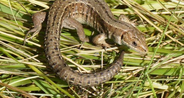 Who Are You Calling Common Above The Viviparous Lizard Photograph Kieran Flood