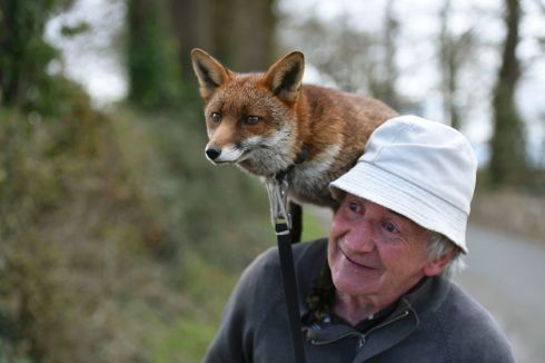 FANTASTIC MR FOX: Patsy Gibbons takes his two foxes, Gráinne and Minnie, for a walk in Kilkenny. Gibbons nursed the foxes back to health after they were found abandoned as injured cubs, and they have stayed with him since. Photograph: Clodagh Kilcoyne/Reuters