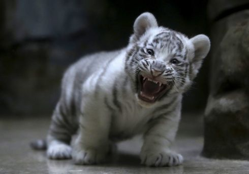 CZECH REPUBLIC: A new-born Indian white tiger cub yawns in its enclosure at Liberec Zoo, Czech Republic. Photograph: David W Cerny/Reuters