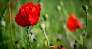 Opiates are compounds found naturally in the opium poppy plant Papaver somniferum.