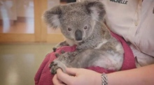Injured koala bear hit by car gets physiotherapy