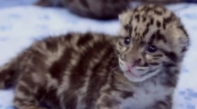 Triplet leopard cubs make their debut at Washington zoo