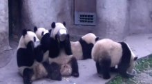 Pandas lick their plates clean in adorable footage