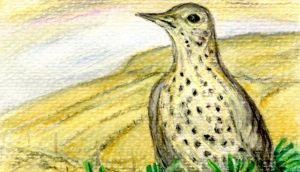 Mistle thrush: first recorded in Ireland in 1808. Illustration: Michael Viney