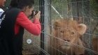 Lions rescued from South American circuses get sanctuary in South Africa