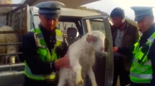 Rammed in: driver stopped with 10 sheep in his back seat