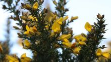 Seasonal Suppers: Gorse flowers