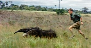 In pursuit of a Giant Anteater in the Rupununi Savannah, British Guiana. 1955