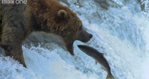 The Life of Mammals (2002): Brown bears fishing for salmon in North America.
