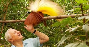 Attenborough in Paradise (1996): Finally fulfilling a life ambition, Attenborough travelled to the forests of New Guinea to witness and record the spectacular courtship rituals of the birds of paradise. A particular highlight is a male Wilson's bird of paradise in full display.