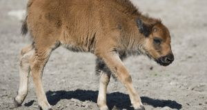 The newborn bison calf had to be euthanised because its mother had rejected it as a result of 'interference by people,' officials said. Photograph: AFP/Getty Images