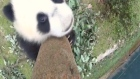 'No pics!': camera no match for playful panda cub