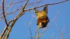 Batty: thousands of 'flying foxes' invade Australian town