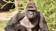 Gorilla shot dead after 4-year-old boy falls into zoo enclosure