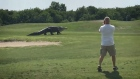 Giant alligator ambles across golf course in Florida