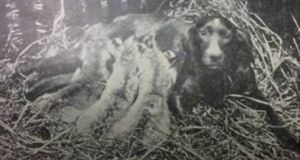 The image on the annual report of the Royal Zoological Society of Ireland for 1899, of an Irish red setter nursing the zoo's three new lion cubs