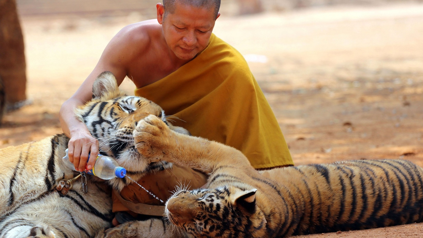 buddhist monks charged over smuggling of tiger parts