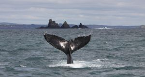 Humpback whale off Cork. Photograph: Pádraig Whooley/IWDG