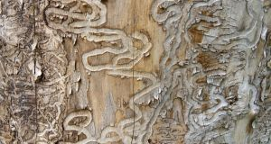 Traces of emerald ash borer on a dead tree. Photograph: iStock
