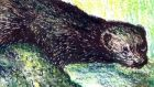 Invasive: mink are now too widespread to eradicate from Ireland. Illustration: Michael Viney