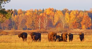 Bison in the Bialowieza Forest in eastern Poland. Photograph: Lukasz Mazurek/WildPoland.com