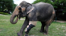 Back on her feet: amputee elephant gets new prosthetic