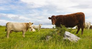 File Image: The killing of five heifers by Defence Forces soldiers during a bankruptcy seizure on a farm in Co Monaghan on Tuesday has been described as 'pretty horrific' by an animal rights group. Photograph: Getty Images.