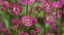 Astrantia 'Ruby Wedding' Photograph:   Richard Johnston