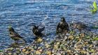 "A photograph by Pat Russell of bathing starlings has won him the title ""Biodiversity Photographer of the Year"". The photograph entitled ""Riverdance"" shows a group of starlings at the edge of the Corrib, outside Claddagh Hall in Galway on one of the hottest days in May."