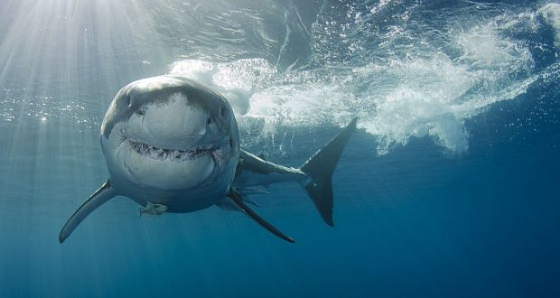 An Irishman's Diary about the shark attacks that inspired 'Jaws'