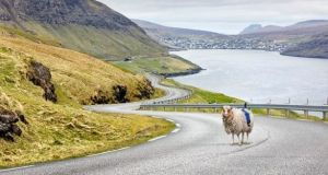 A sheep with a  360-degree camera mounted on its back in the Faroe Islands. Photograph: Visit Faroe Islands