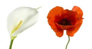 The Irish martyrs of the Rising are typically remembered by the wearing of the white Easter lily, a symbol of death and rebirth. Those who died at the Somme are honoured with the red and black poppy.