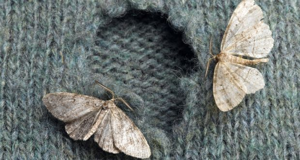 The hole truth: how clothes moths make themselves at home in