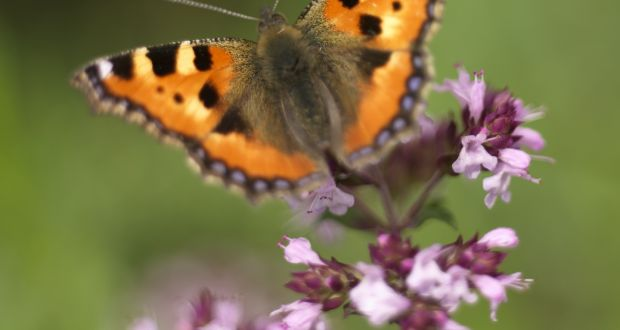 92e233391a169 A tortoiseshell butterfly in an Irish garden feeding from the magenta  flowers of oregano. Photograph