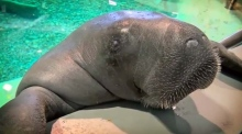 'Snooty' the world's oldest manatee has turned 68
