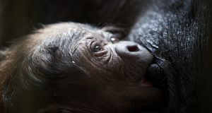 "Lena, the western lowland gorilla at Dublin Zoo, breastfed her baby immediately and will continue to do so for up to five years. She ""did not need a lactation consultant to urge her to do what is best"". Photograph: Patrick Bolger"