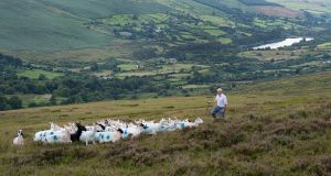 Donie Anderson herds sheep in Glenasmole, close to the 4,900 acres for sale by Nama . The price is expected to be €1-€2.5 million. Photograph: Dave Meehan