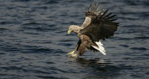 White-tailed sea-eagle: a sea eagle breeding programme began four years ago on Garnish Island at Glengarriff in Bantry Bay