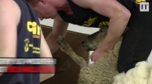 Behind the scenes at the Sheep Shearing finals
