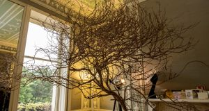 A rescued tree thriving in a pot in the salon of Umit Kutluk's studio on Merrion Square. Photograph: Dara Mac Dónaill